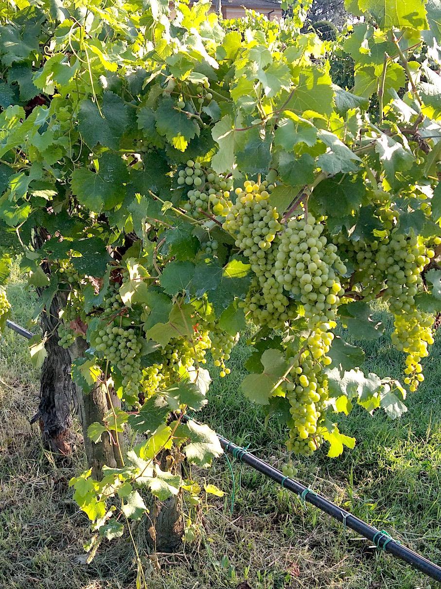acetaia ferrari graspi uva