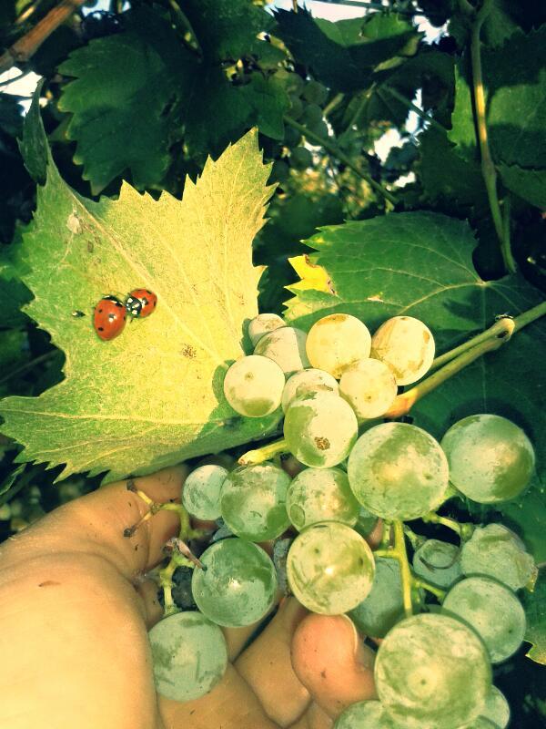 acetaia ferrari uva